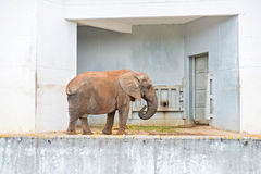 African elephant near wall Royalty Free Stock Photos