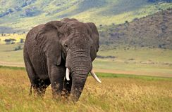 African elephant at the Ngorongoro crater. African elephants are more famous for their long tusks. Here they are protected from poachers Stock Image