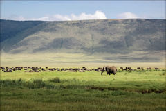 African elephant in the Ngorongoro crater in the background of g Royalty Free Stock Photography