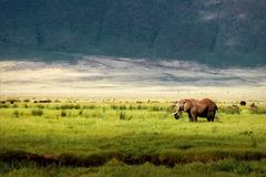 African elephant in the Ngorongoro crater in the background of mountains. African elephant in the Ngorongoro crater in the background of mountains stock photography