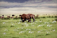 African Elephant in Ngorongoro Crater with white birds Stock Photography