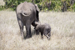 African elephant nursing its baby Royalty Free Stock Photos