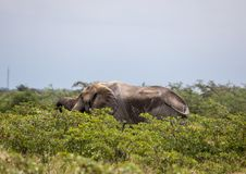 African Elephant in the Nxai Pan National Park in Botswana. During summer time stock image
