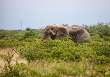 African Elephant in the Nxai Pan National Park in Botswana. During summer time stock photo