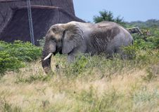 African Elephant in the Nxai Pan National Park in Botswana. During summer time stock photography