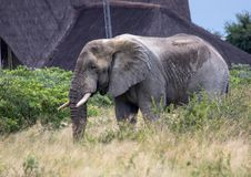African Elephant in the Nxai Pan National Park in Botswana. During summer time stock images