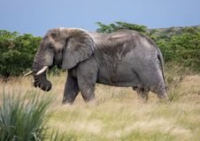African Elephant in the Nxai Pan National Park in Botswana. During summer time stock photos