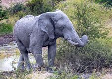 African Elephant in the Nxai Pan National Park in Botswana. During summer time royalty free stock images