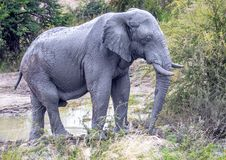 African Elephant in the Nxai Pan National Park in Botswana. During summer time royalty free stock photos