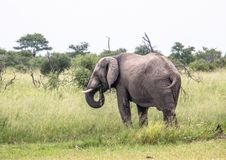 African Elephant in the Nxai Pan National Park in Botswana. During summer time royalty free stock photo