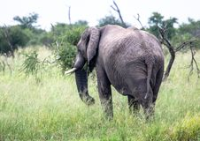 African Elephant in the Nxai Pan National Park in Botswana. During summer time royalty free stock image