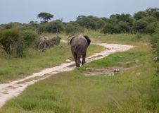 African Elephant in the Nxai Pan National Park in Botswana. African Elephant on a trail in the Nxai Pan National Park in Botswana during summer time stock image