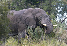 African Elephant - Okavango Delta Royalty Free Stock Photo