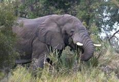 African Elephant - Okavango Delta Royalty Free Stock Photo