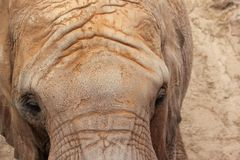 African Elephant (Pachyderm). Royalty Free Stock Photography