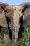 An African elephant painted with mud Stock Photos