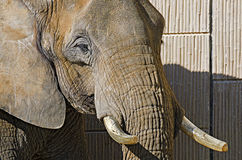 African elephant with partly cut tusks Stock Photo