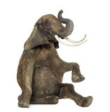 African elephant performing, seated on the floor, trunk up stock images