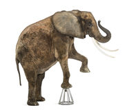 African elephant performing, standing up on a stool, isolated. On white Royalty Free Stock Photography