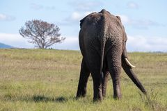 African elephant, photographed from behind at Knysna Elephant Park, South Africa stock photography