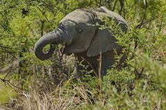 African elephant in Pilanesberg National Park Stock Photography