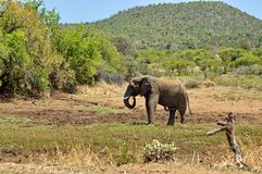 African elephant in Pilanesberg National Park Royalty Free Stock Photography