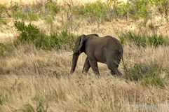 African elephant in Pilanesberg National Park Stock Photo