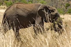 African elephant in Pilanesberg National Park Stock Photos
