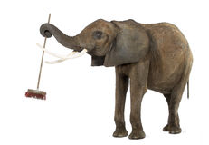 African elephant playing with a broom, isolated Royalty Free Stock Photography
