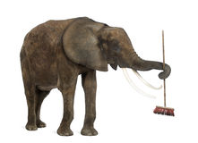 African elephant playing with a broom Stock Photography