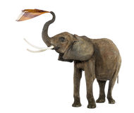 African elephant playing with a tissue, isolated Stock Photos