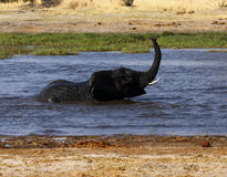 African elephant playing in water Royalty Free Stock Photo