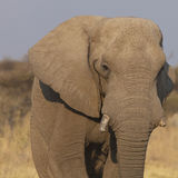 African elephant portrait Stock Photography