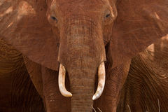 African Elephant Portrait. Frontal close-up of African elephant Royalty Free Stock Image