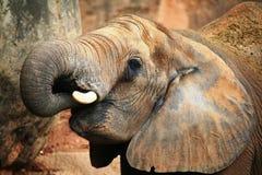 African elephant portrait Stock Image
