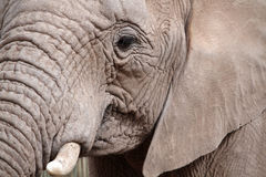 African Elephant portrait. A close up portrait of an african elephant royalty free stock images