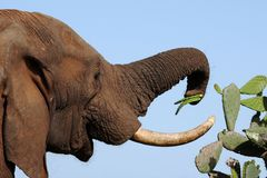 African Elephant and Prickly Meal Royalty Free Stock Image