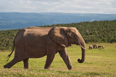 African Elephant profile. African Elephant on a hillside happily strolling on the grass in the morning sun at the national Addo Elephant Park, Eastern Cape Stock Photography
