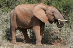 African Elephant Profile. Large male African elephant standing in the bush royalty free stock photos