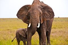 An African elephant protecting its child Royalty Free Stock Image