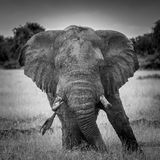 African Elephant. Queen Elizabeth National Park Uganda stock photos
