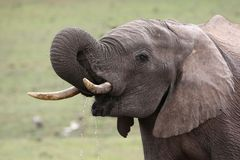 African Elephant Quenching Thirst Royalty Free Stock Images