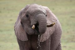 African Elephant Quenching Thirst Royalty Free Stock Photo