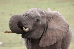 African Elephant Quenching Thirst Stock Photography