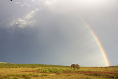 African elephant and rainbow in South Africa Royalty Free Stock Image