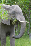 African elephant in the rainy season in South Africa. Royalty Free Stock Images