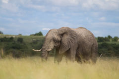 African elephant in the rainy season in South Africa. Stock Images