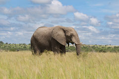 African elephant in the rainy season in South Africa. Royalty Free Stock Image