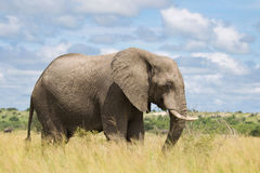 African elephant in the rainy season in South Africa. Stock Photo