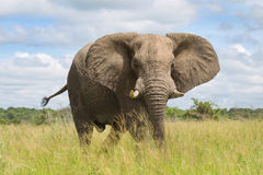 African elephant in the rainy season in South Africa. Stock Photography